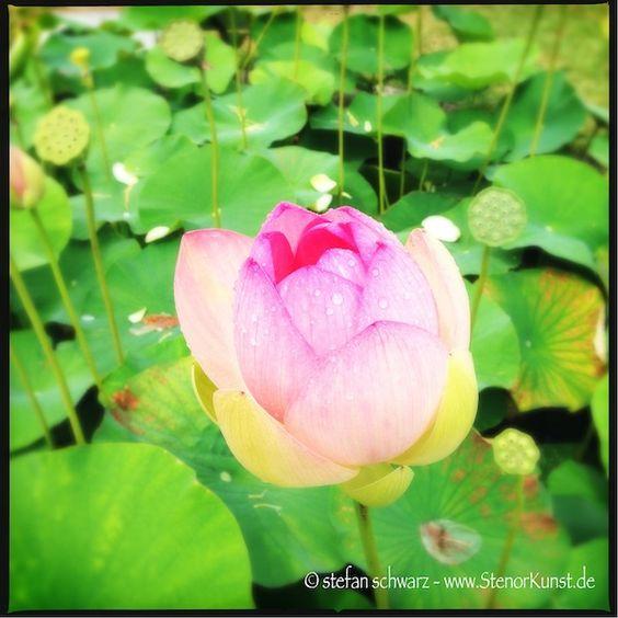 Stenorkunst | Lotusblume im Botanischen Garten in Bonn