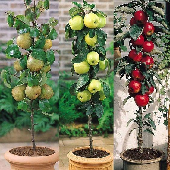The Best Dwarf Fruit Trees To Grow In Pots Fruit Gardening Dwarf Fruit Trees Growing Fruit Trees Fruit Trees Backyard