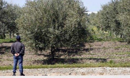 GNR faz 50 detenções por furto de azeitona no Baixo Alentejo