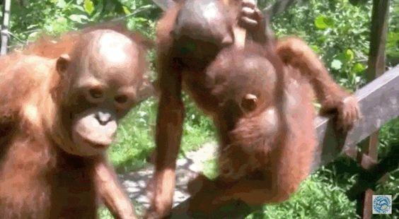 Orangutan Babies Pile Into BestCuddle Puddle Ever