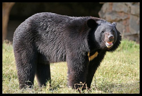 Asiatic Black Bear | Asiatic Black Bear Habitat and Population