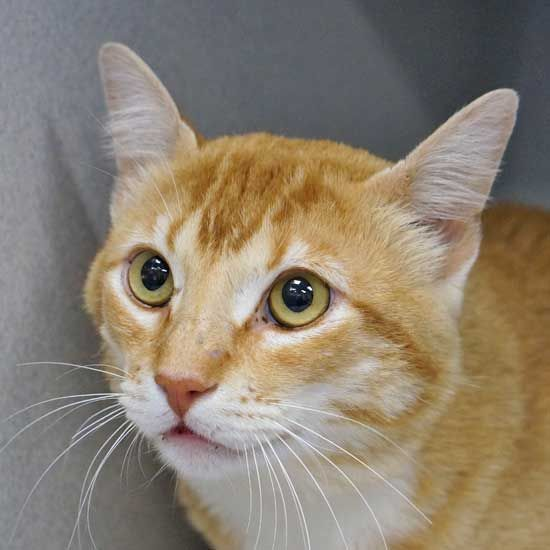 Cat Kittens For Adoption In San Diego Em 2020
