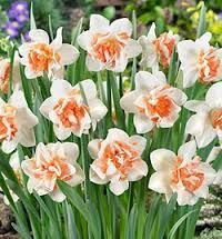 Forgot to mention earlier, in the same planter as the white tulips and lily varieties Replete Narcissus. A bit different to the small yellow variety I was disappointed they didn't break through this year but they were late going in, so maybe next year.