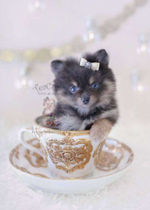 Gorgeous Blue Pomeranian Puppy By Teacupspuppies Com Locally Bred In South Florida Pomeranian Puppy Teacup Puppies Pomeranian Puppy Toxic Plants For Cats