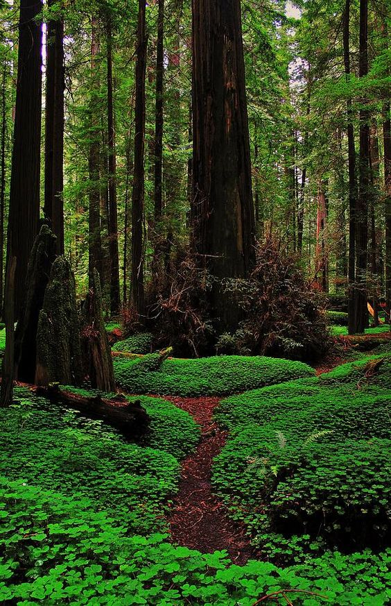 Forest Trail, Redwoods National Park, California.
