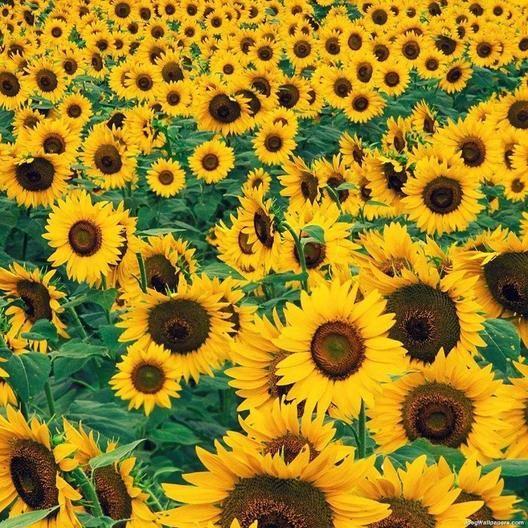 Sunflower Mammoth Grey Stripe Seeds In 2020 Sunflower Sunflower Garden Seeds