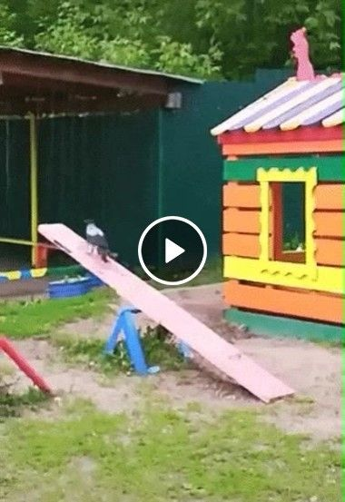 Pássaro descobre como brincar.