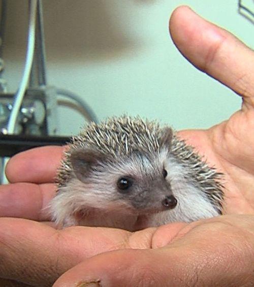 who can resist those tiny hedgehog ears?:
