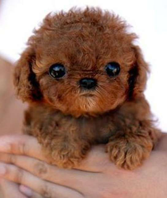 Tiny teddy bear or puppy dog? You be the judge.Share This on Facebook?Image via Gracie Lu Shih Tzu - Mom.me