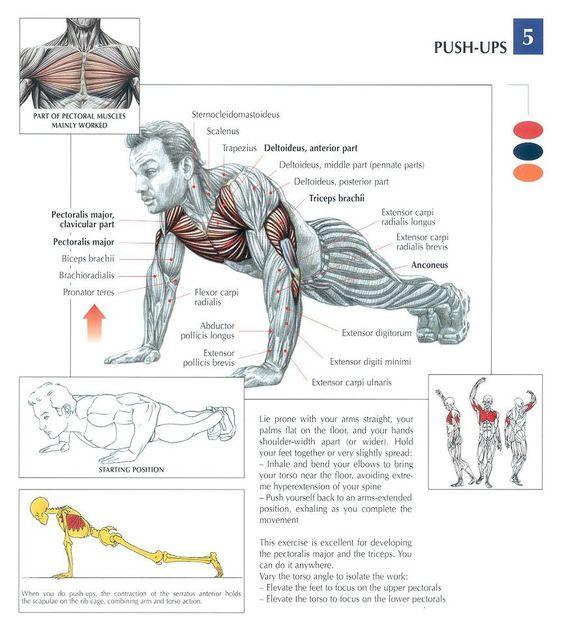 Anatomia de las flexiones.
