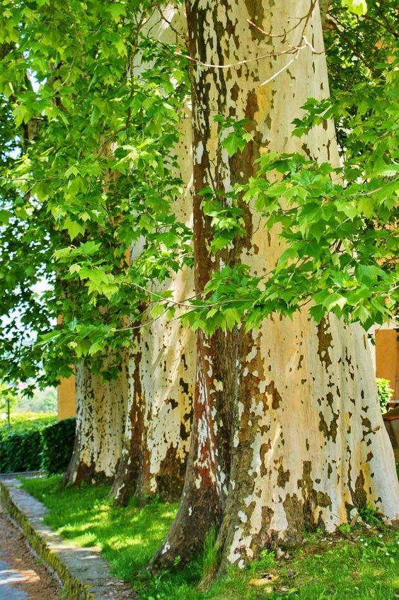 Sycamore tree – Plane tree (platanus hispanica)