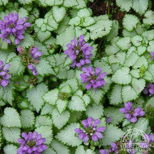 Pinterest the world s catalog of ideas for Low maintenance perennials for shade
