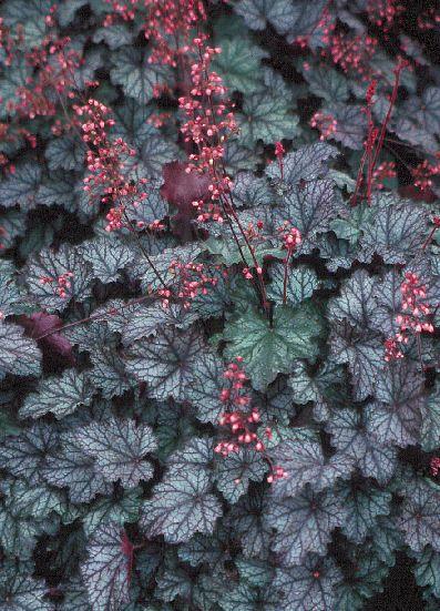 heuchera raspberry ice 39 39 wish list 39 pinterest. Black Bedroom Furniture Sets. Home Design Ideas
