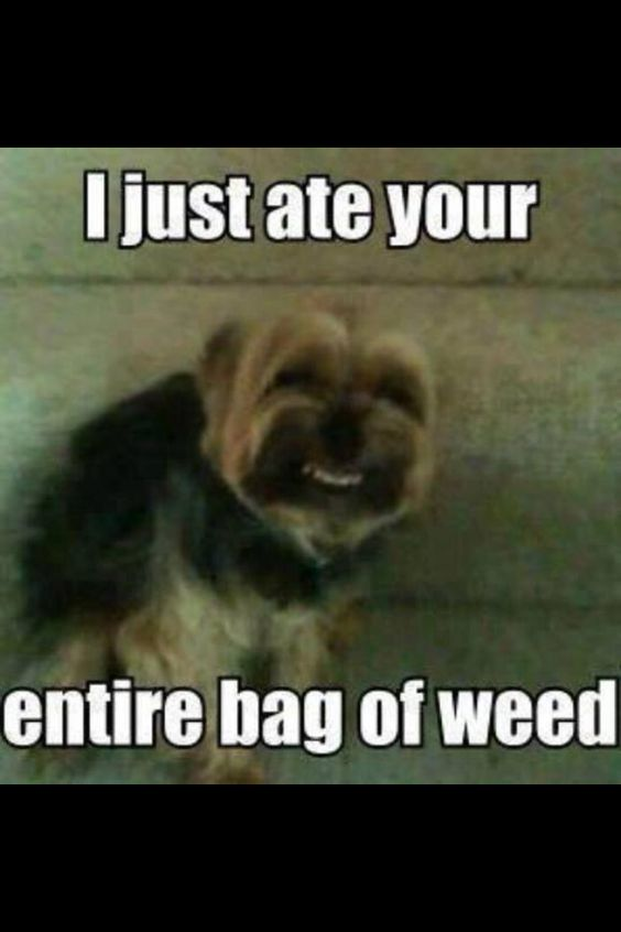 What Happens When Dogs Eat Weed