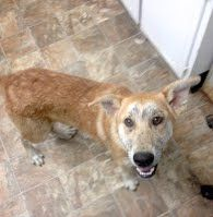 Carter is Very sweet and friendly. Loves attention. Has demodex mange.  1-2 yrs old; shep mix; 46lbs; hw-