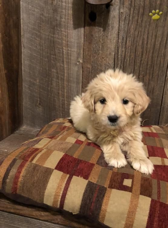 Joe Mini Goldendoodle Puppy For Sale In Tyrone Pa Lancaster Puppies Goldendoodle Puppy For Sale Goldendoodle Puppy Mini Goldendoodle Puppies