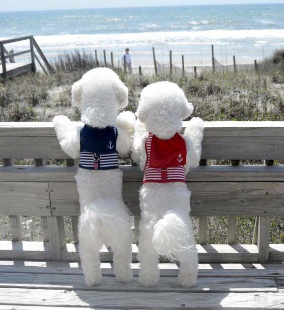 Enjoying the surrounding #bichonfrise #pets http://www.nojigoji.com.au/