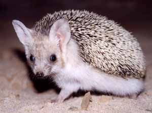 Indian Long-Eared Hedgehog | ... Indian long-eared hedgehog, Collared hedgehog, Hardwicke's hedgehog