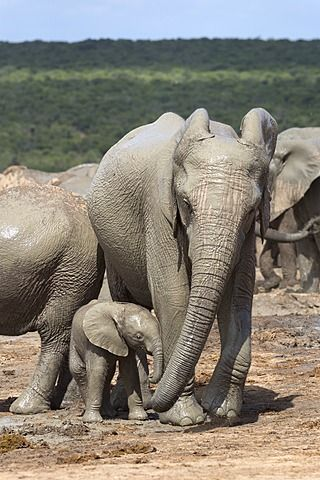 African elephant (Loxodonta africana) mother and baby at Hapoor waterhole, Addo Elephant National Park, Eastern Cape, South Africa, Africa