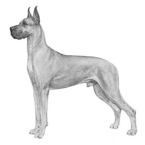 Great Dane Dog Breed Information Great Dane Dogs Dog Breeds