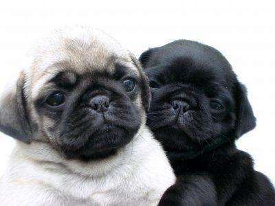 Pin By Sierra Cooke On Dogs Baby Pugs Pugs Cute Pugs