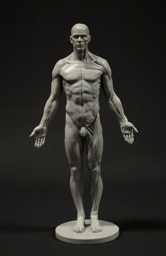 Amazon | Male Anatomy Figure: 11-inch Anatomical Reference for Artists (Grey) 男性解剖図 | 文房具・オフィス用品