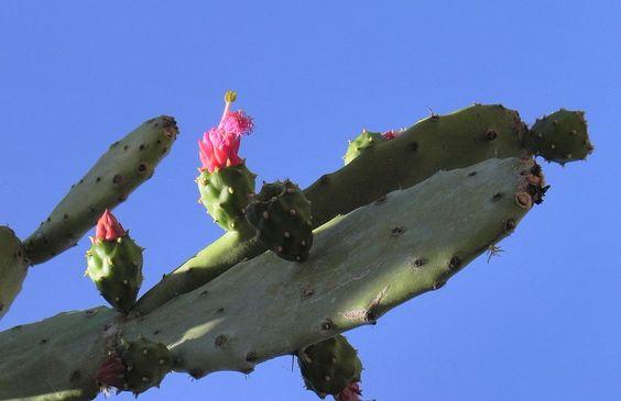 Kaktus Frucht rot Cactus