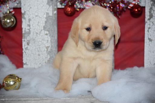 Golden Labrador Puppy For Sale In Fredericksburg Oh Adn 56318 On Puppyfinder Com Gender Male Age Labrador Puppies For Sale Labrador Retriever Labrador Dog