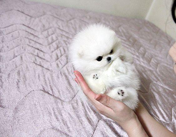 Teacup Pomeranian | Love | Pinterest | Pomeranians, Micro Pomeranian ...