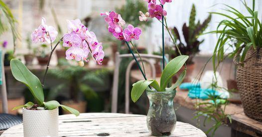 Comment Bien Entretenir Mon Orchidee Entretenir Orchidee