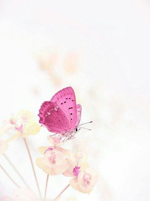 ピンク×蝶