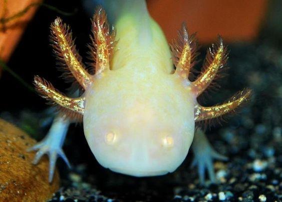 pale golden albino axolotl amazing axolotls pinterest