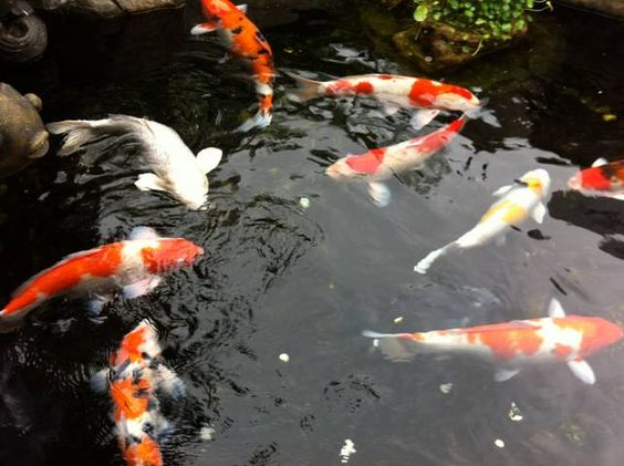 Koi fish tattoo meaning color direction and more for Japanese koi names
