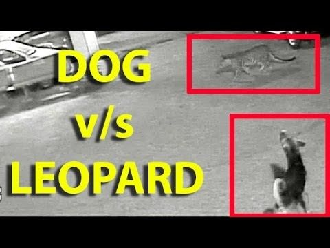 Greatest Chase: Stray dog chases leopard away