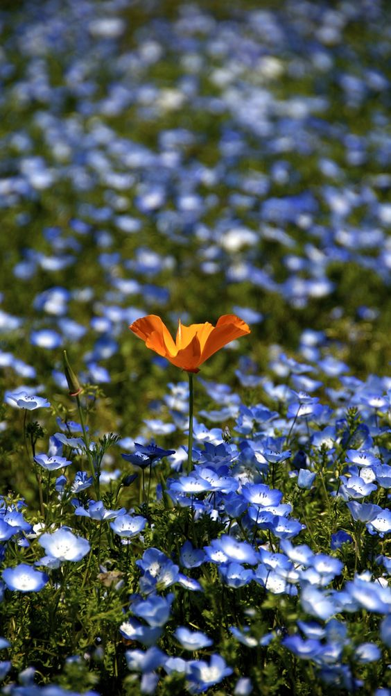 Orange in Blue by shinichiro saka: Baby blue eyes and California poppy. #Wildflowers: