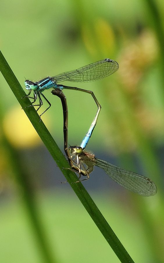 Matingwheel Blue-tailed Damselfly (Ischnura elegans) Lantaarn waterjuffer (paringswiel) (Photo by Jerdek©)