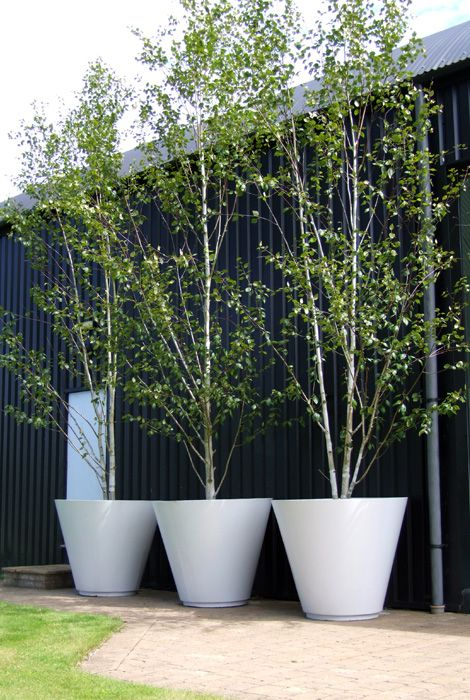 """""""Don't think you can plant trees in containers? Think again. These birch trees are placed  in large containers, and because the root ball is kept from growing outward, the whole tree remains smaller and more manageable."""""""