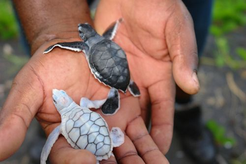 Awe that albino turtle is going to have a hard time surviving. It's easier to spot by its predators. SO SAD :( @Jessica tiny turtles make me think of you <3