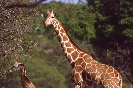 Giraffe w/young  / ckoegl