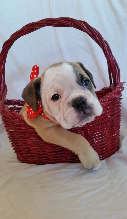 Emmi American Bulldog For Sale Puppies Puppy Finder