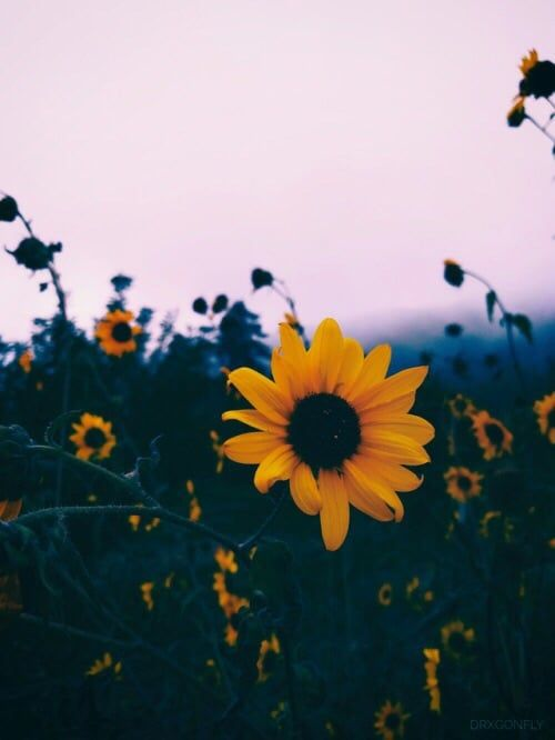 Beautiful Flowers Nature Tumblr Wallpapers Daisy Fields Photography Colors Landscape Https Sunflower Wallpaper Flower Aesthetic Tumblr Backgrounds
