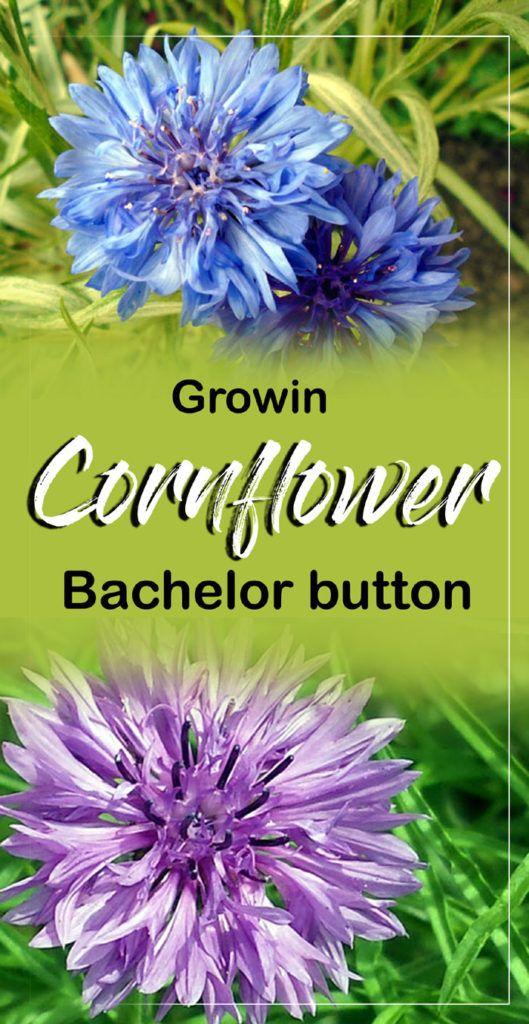 Growing Cornflower Flower Garden Care Beautiful Flowers Garden Bachelor Button Flowers