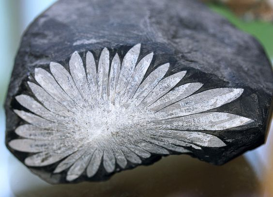 ~Unusually perfect specimen of chrysanthemum rock. This close-up shows the 1 1/2 pound stone with a flower-like pattern that is is made of celestite and calcium deposits on black limestone.~