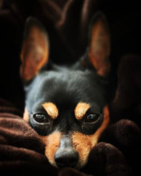 Outstanding Pinscher Puppy Information Is Readily Available On