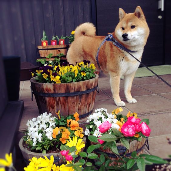 #dog #shibainu #shiba #柴犬 #cute #犬バカ部 #柴犬かすみ #モフモフ部 #ふわもこ部 #いぬら部 #わんダフォー