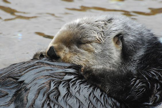 Sea otter tucks her head to her chest for a nap - December 14, 2014