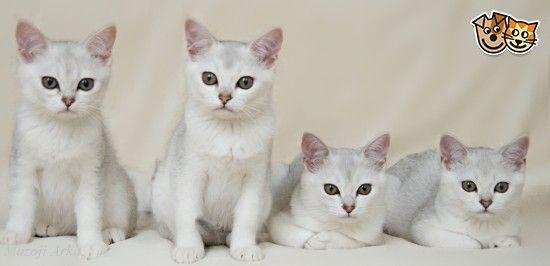 Elite Burmilla Kittens Kings Lynn Norfolk Pets4homes Burmilla Kittens King S Lynn