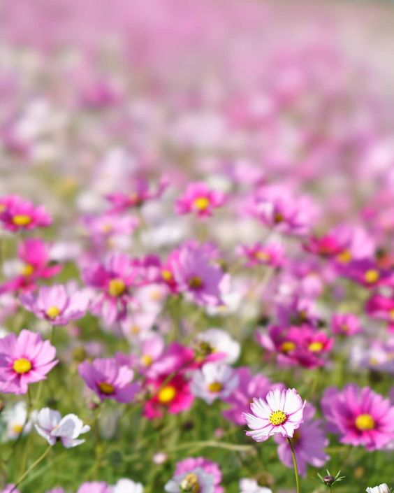 Awaji Hyogo Japan Flower Cosmos Flowergarden Landscape A7rm3 A7r3 Sel100f28gm Sony Sonyalpha Cosmos Flowers Garden Theme Beautiful Flowers