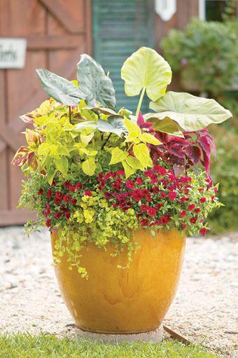 Goldilocks Creeping Jenny Lysimachia Nummularia: Proven Winners, Elephant Ears And Container Garden On