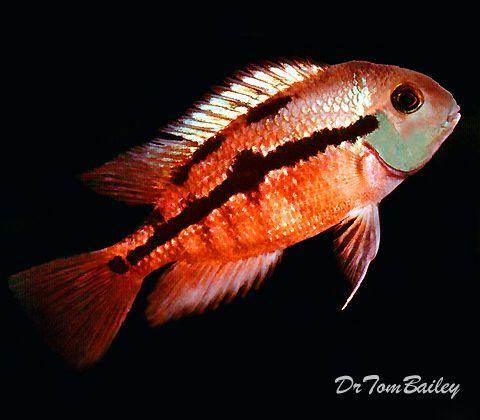 Sunset cichlid featured item sunset cichlid cichlids for African freshwater fish
